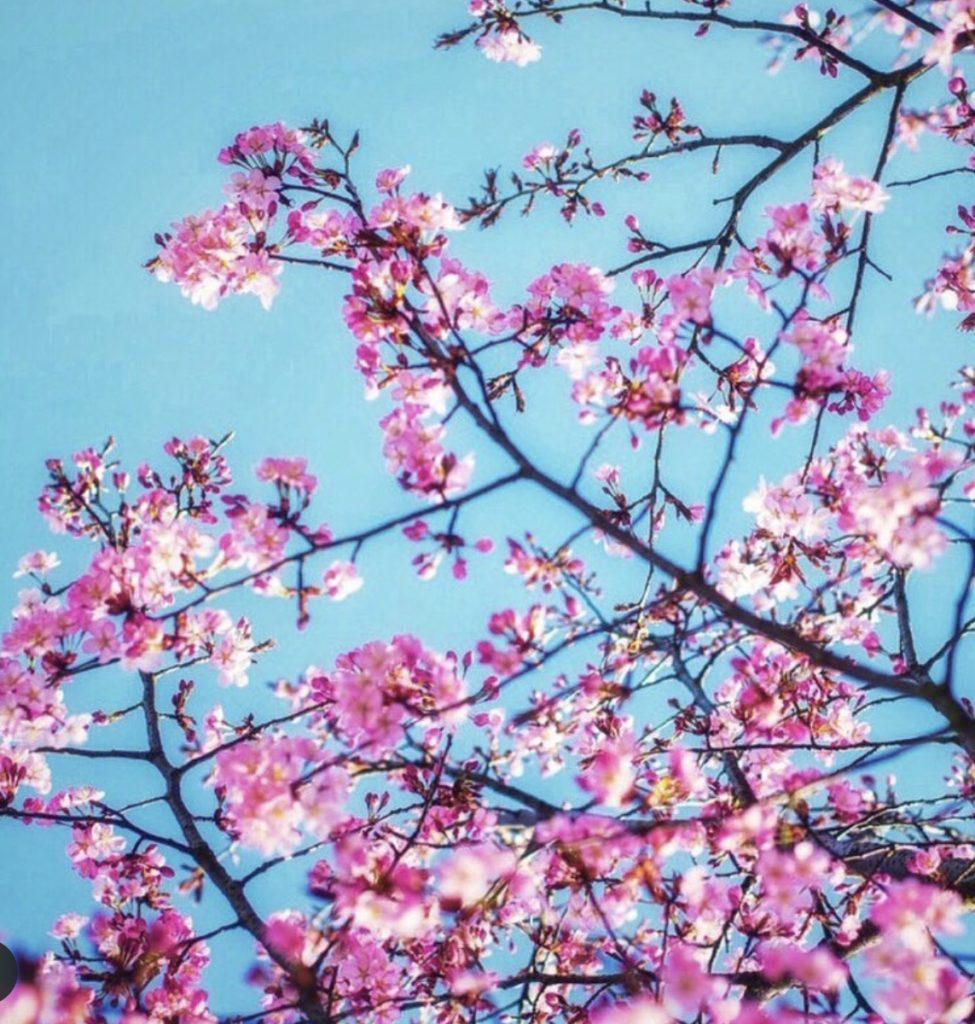 Pink Cherry blooms