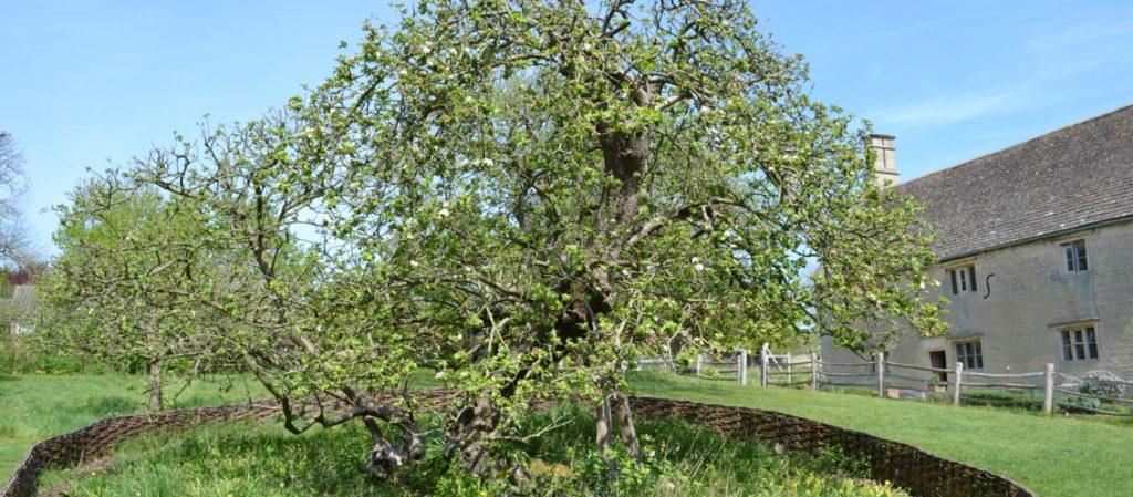 Isaac Newton Apple Blossom Tree